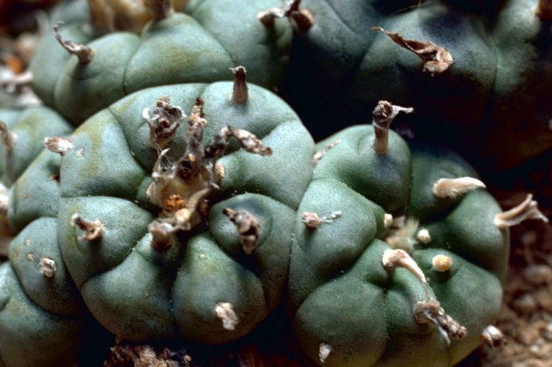 """""""Peyote Cactus"""". Licensed under Public Domain via Wikimedia Commons - http://commons.wikimedia.org/wiki/File:Peyote_Cactus.jpg#/media/File:Peyote_Cactus.jpg Soul Intent Arts"""